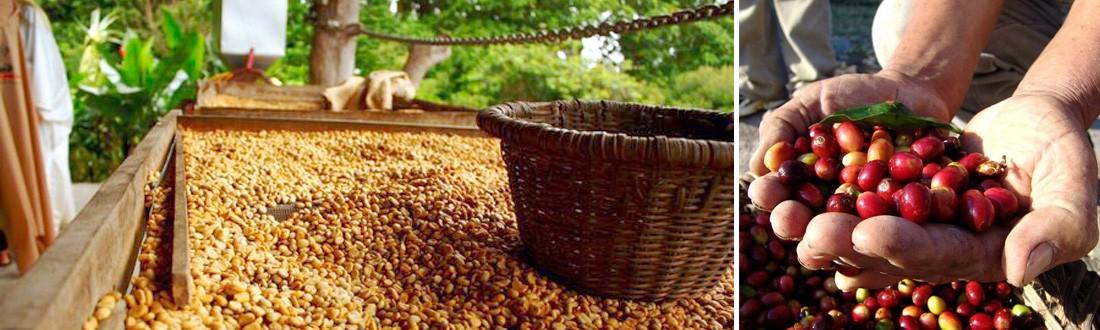 Karibu Adventures - Coffee processing